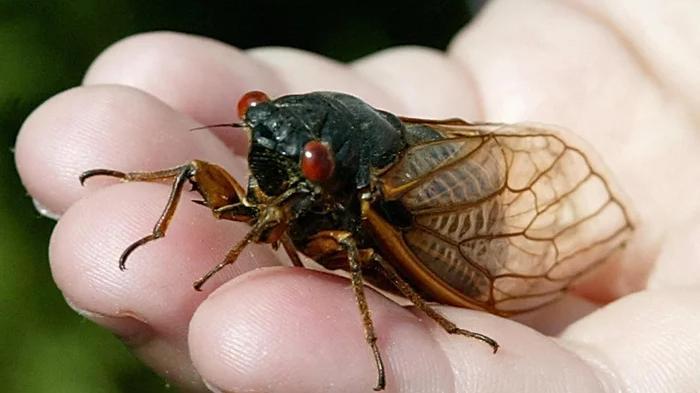 ABD'de Cicadas istilası: 17 yıl sonra geri dönüyorlar