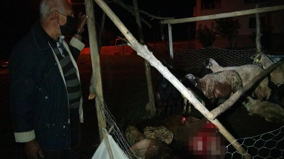Köpekler 12 koyunu öldürdü