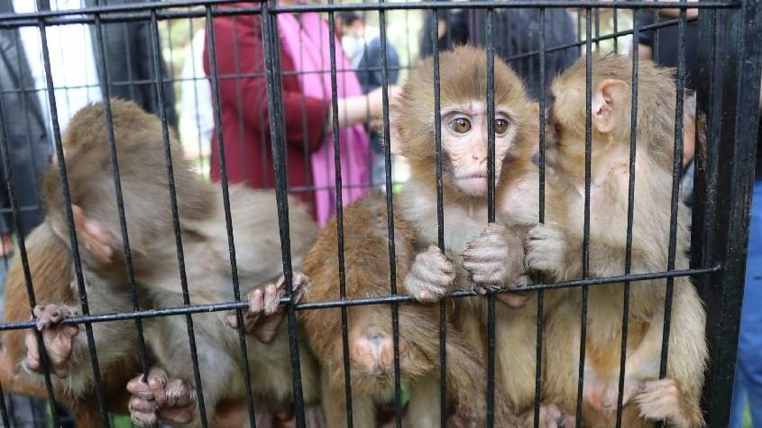 Sınırda ele geçirilen 12 maymun hayvanat bahçesine getirildi