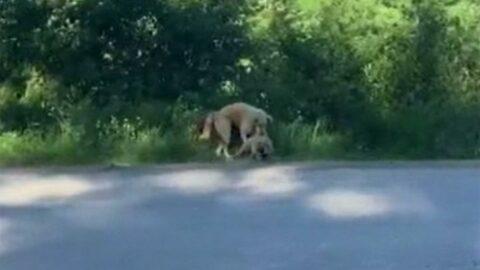 Araba çarpan yavrusunu böyle yol kenarına taşıdı