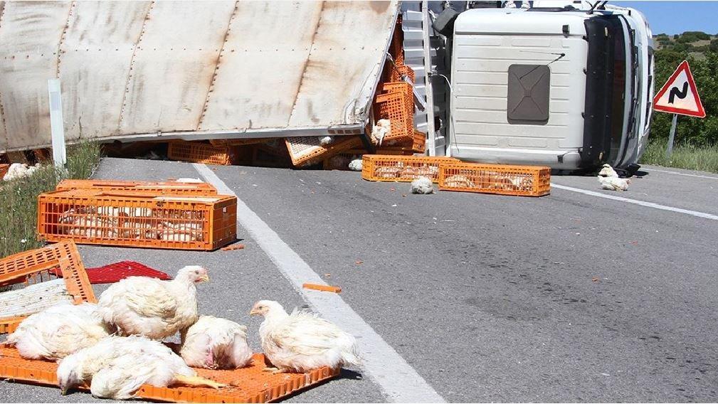 Canlı tavuk yüklü tır devrildi, yüzlerce tavuk öldü
