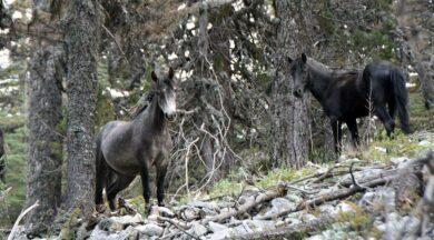Torosların vahşi güzelliği 'Yılkı atları'