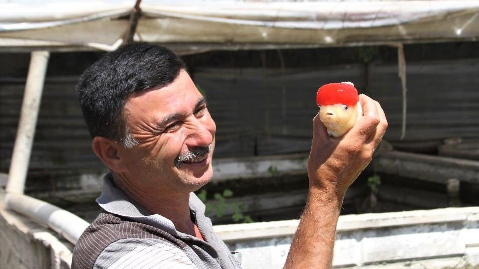Çiftçi alternatif arıyor: Domatesi bıraktı, süs balığına geçti