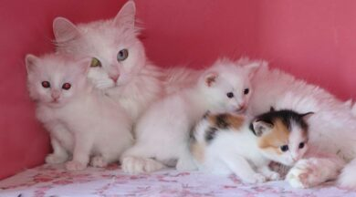 24 anne Van kedisi 70 yavru doğurdu