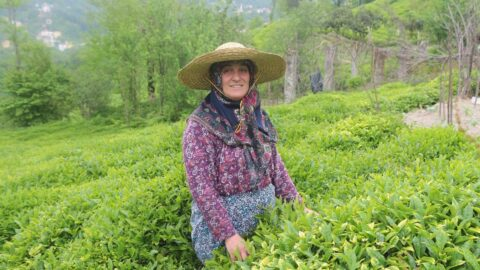 Yaş çay hasadı için geri sayım