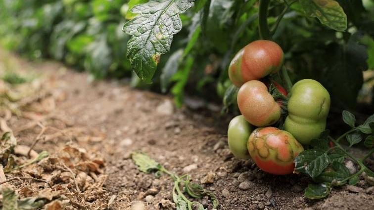 'İsrail virüsü' domatesin coronası
