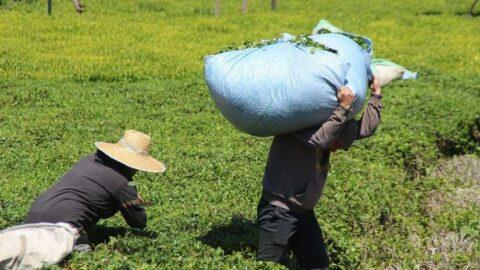 En çok vaka görülen illerden Rize'de, 'çay göçü' endişesi
