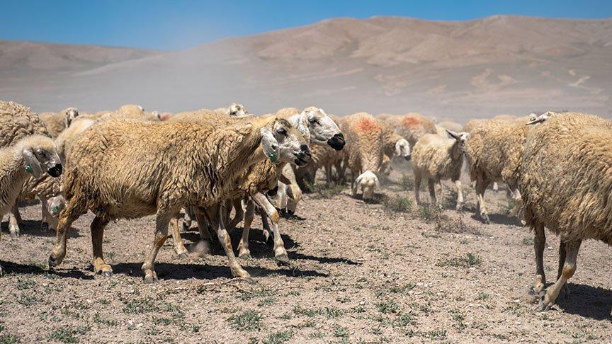 Konya'yı kuraklık vurdu! Tarlalar mera oldu