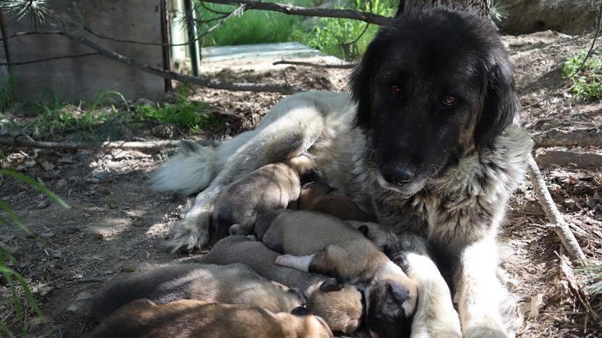 Anne köpeğe tecavüz iddiası hayvanseverleri ayağa kaldırdı