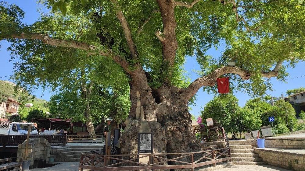 3 bin yıllık 'Musa ağacı' sessizliğe büründü