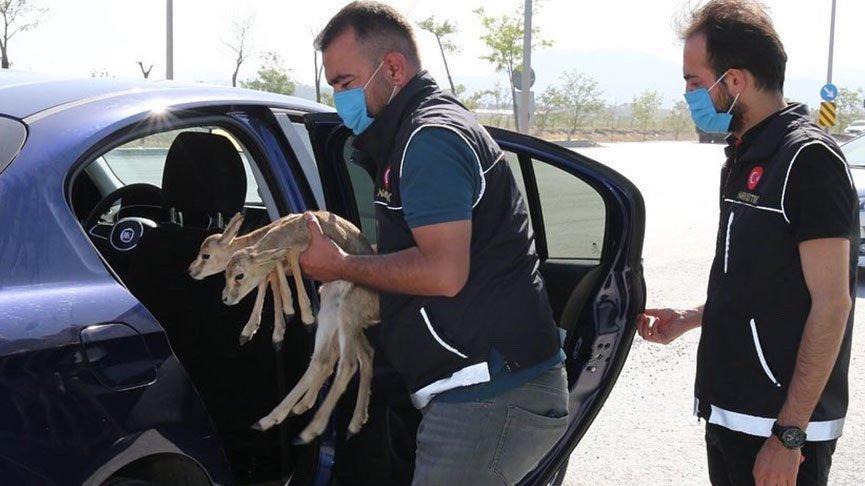 Denetimde otomobilden iki ceylan yavrusu çıktı