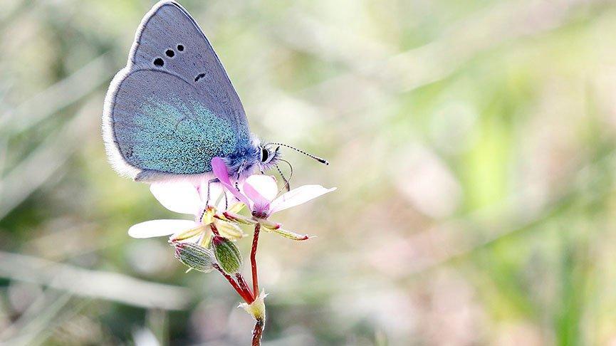 Beyşehir Gölü ve çevresinde 167 tür kelebek yaşıyor