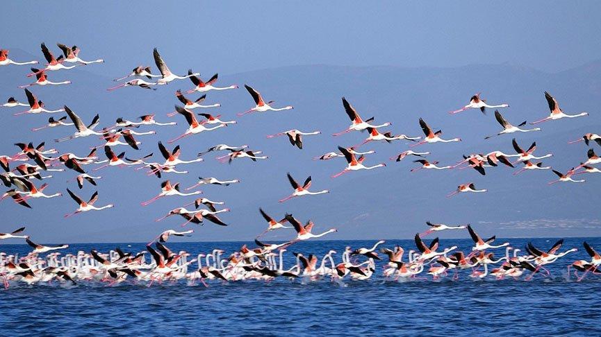 Van Gölü flamingo cennetine döndü