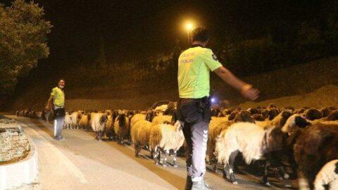 Polis eskortluğunda 10 bin koyun geçişi