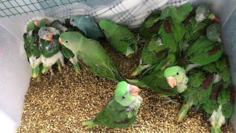 Kanatlı hayvan operasyonu: 38 İskender papağanı kurtarıldı