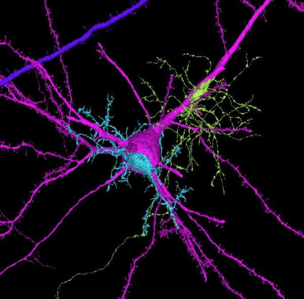 225 milyon görüntü bir araya getirilerek insan beyninin 3D haritası oluşturuldu