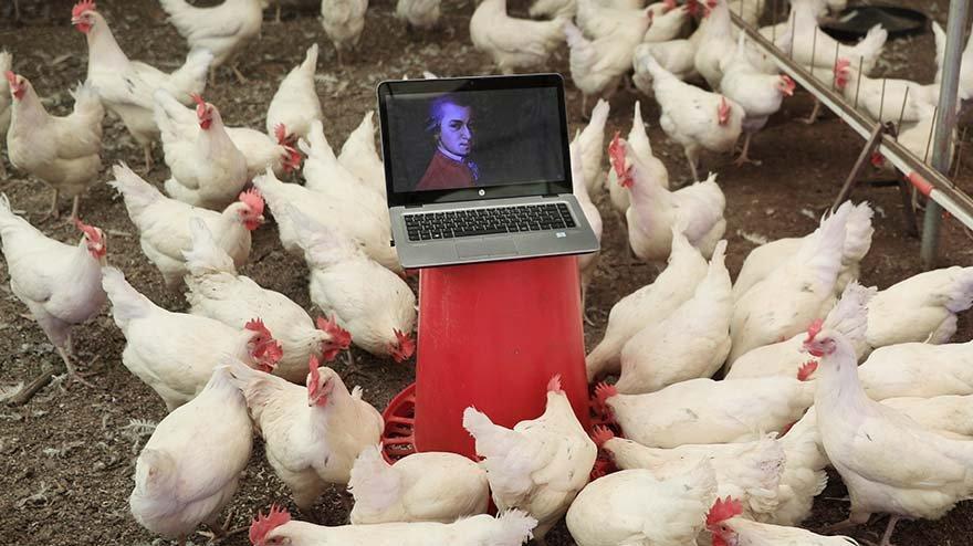 Tavuklarının yumurta verimini klasik müzikle artırdı