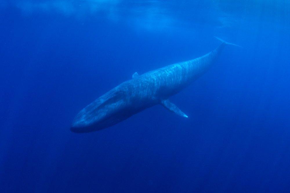 Bomba dedektörlerinin Hint Okyanusu'ndaki inanılmaz keşfi: Mavi balinalar