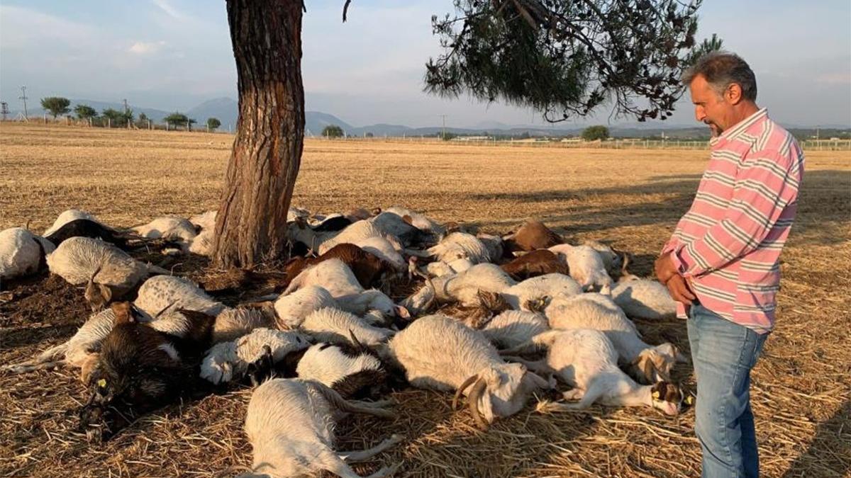 Yıldırım düştü, 55 küçükbaş hayvan öldü