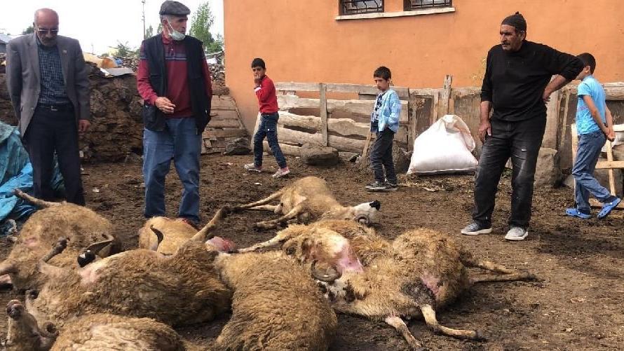 Kurtlar kent merkezinde koyun sürüsüne saldırdı