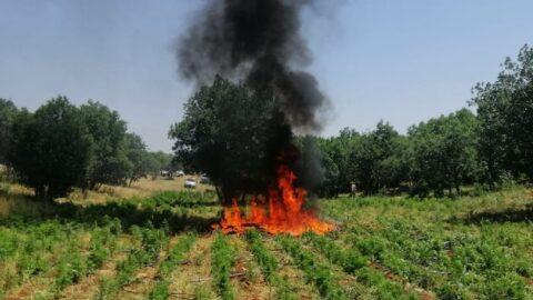 İçişleri: Diyarbakır'da 22 milyon kök kenevir ele geçirildi