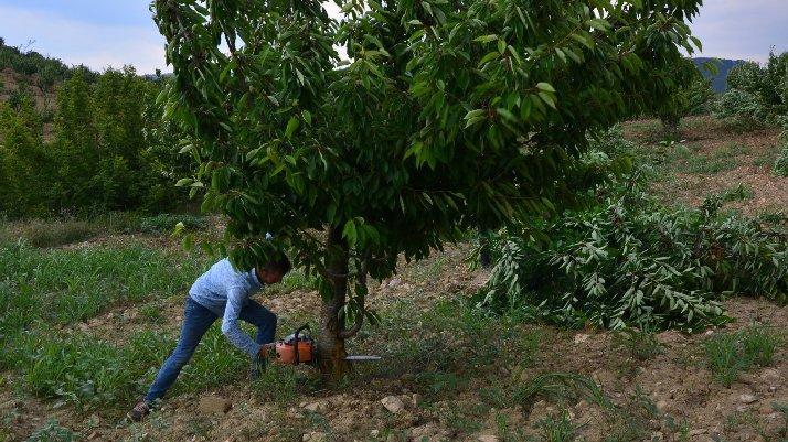 İsyan etti: Bin 500 ağacını kesti