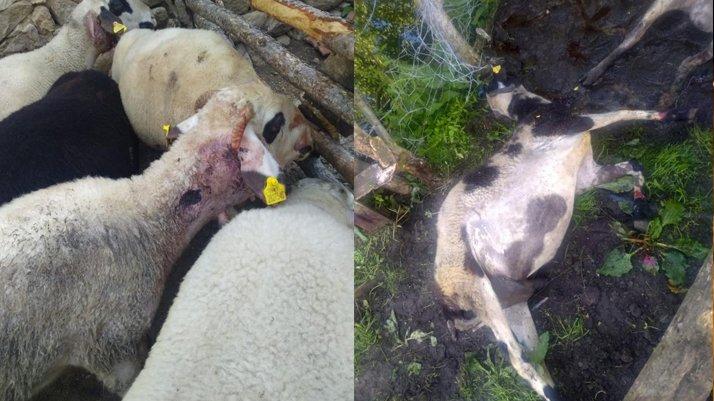 Kurban Bayramı'nda satacağı kuzularını kurt yedi