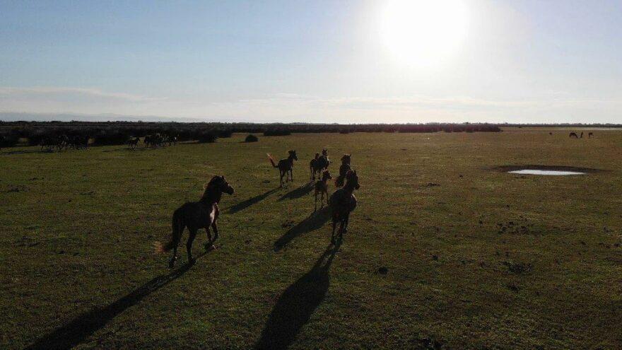 Yılkı atlarının Kızılırmak ögürlüğü