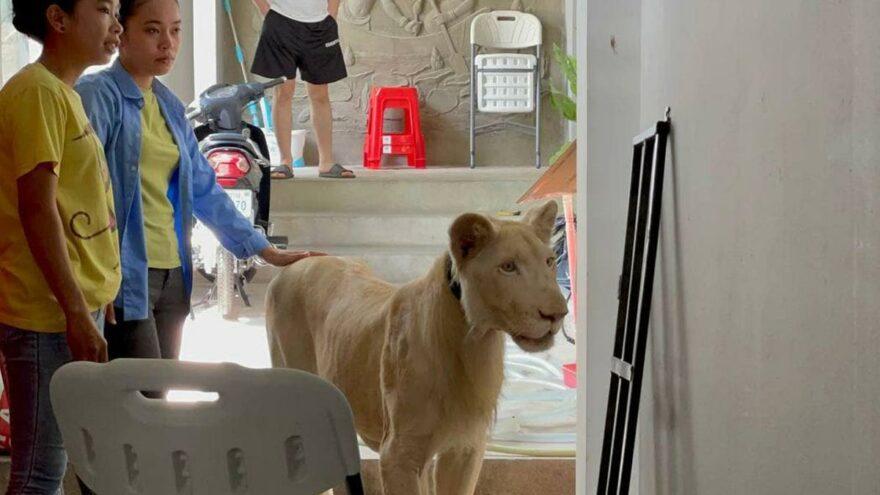 Sosyal medyada videoları yayınlanan aslana devlet el koydu