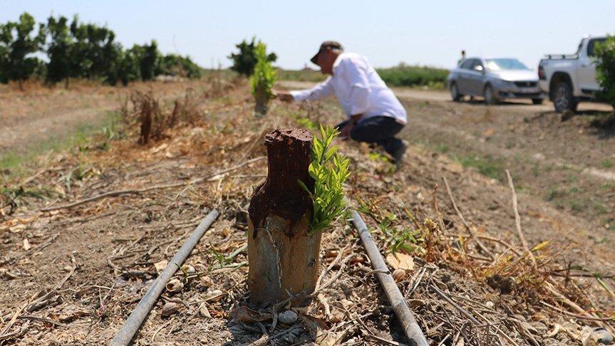 Narenciye bahçesindeki 108 ağacı baltayla kestiler