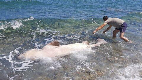 Datça'da kıyıya vurdu! Vatandaşlar gözlerine inanamadı