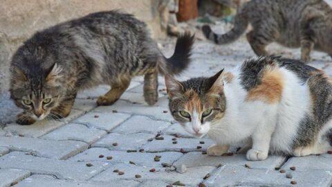 Kedilere sokağa çıkma yasağı getirildi! Uymayan para cezası ödeyecek