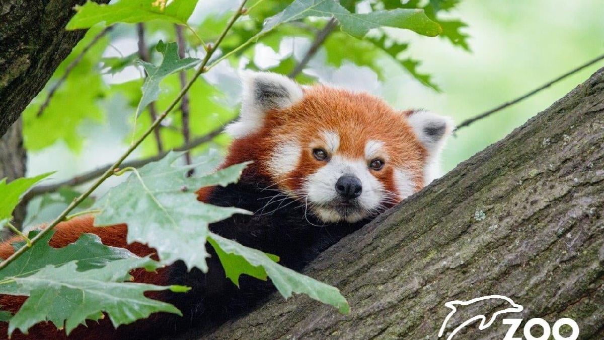 Almanya'da hayvanat bahçesi alarmda: Kızıl Panda firar etti