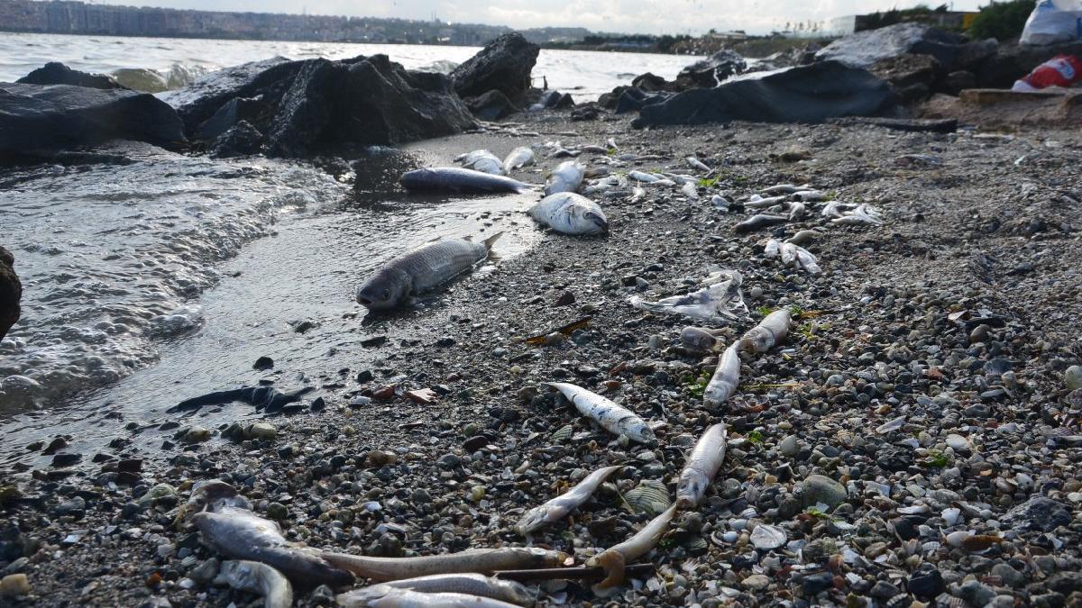 Küçükçekmece sahili ölü balık dolu