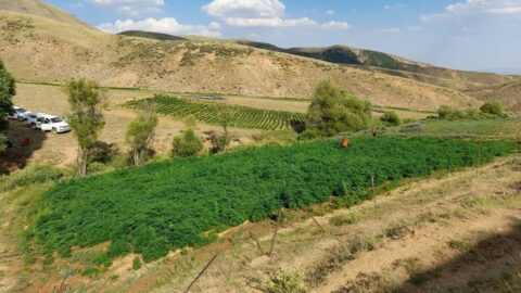 Bingöl'de 15 milyon kök kenevir ele geçirildi