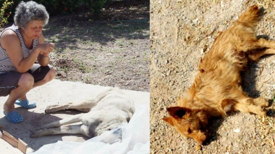 Bodrum'da zehirli kıyma ile köpekleri öldürdüler