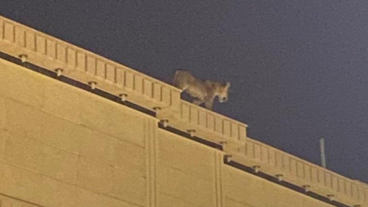 Evin çatısında dolaşan aslan paniğe neden oldu