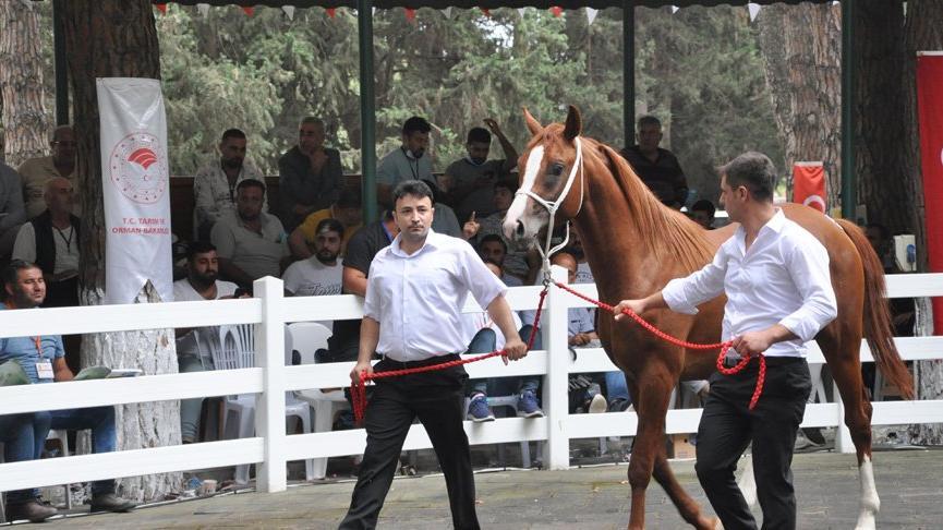 Arap atları açık artırmayla satıldı