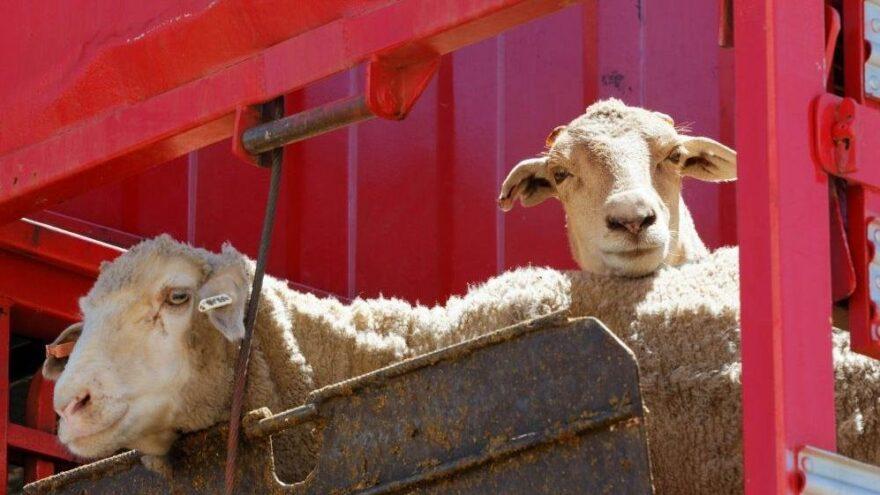 Yeni Zelanda'da koyunlara ötenazi yapıldı