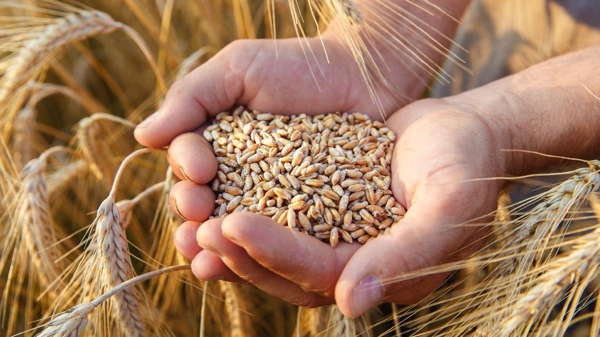 TMO'dan buğday ve arpa alımı için uluslararası ihale