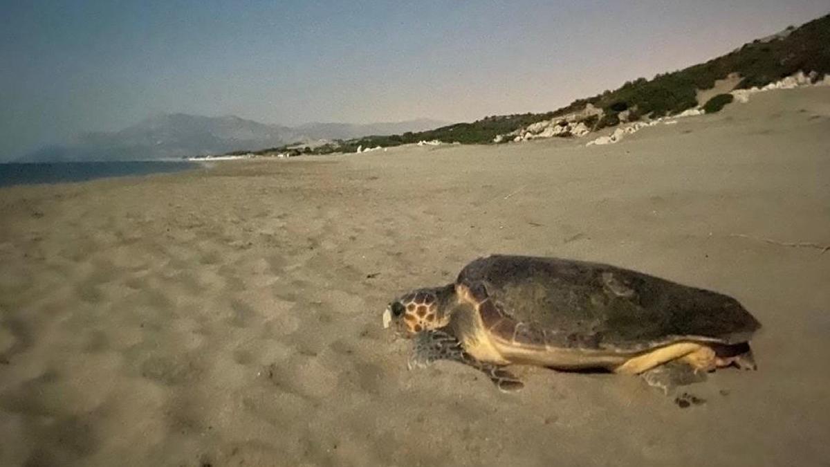 Patara'ya 250 deniz kaplumbağası yumurta bıraktı