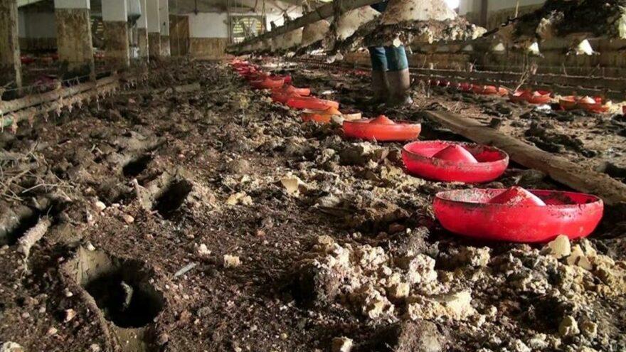 Sel felaketinin vurduğu bölgede 8 bin 800 civciv öldü