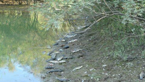 Manavgat'ta toplu balık ölümleri yaşanıyor