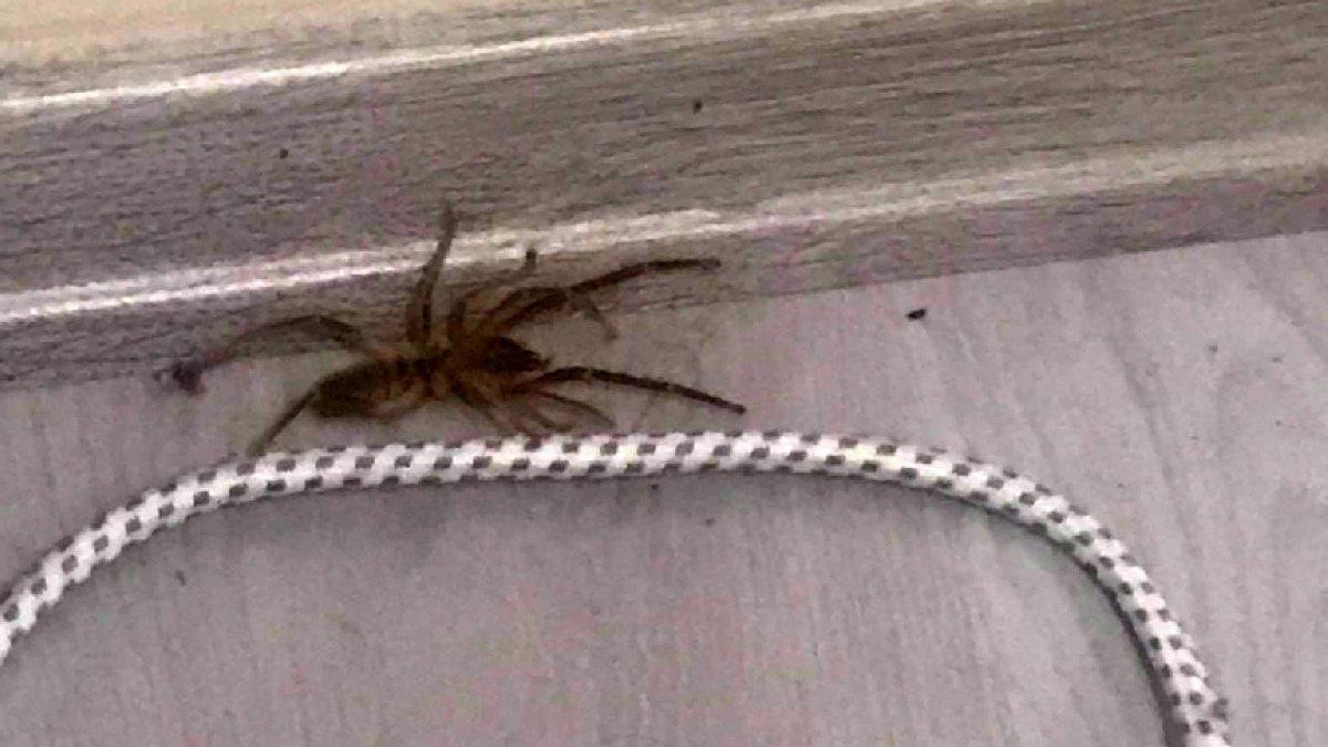 'Et yiyen örümcek' paniğe neden oldu