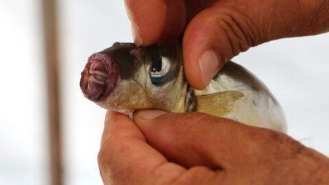 Balon balıkları artıyor! 'Ağları parçalıyor, avlayamıyoruz'