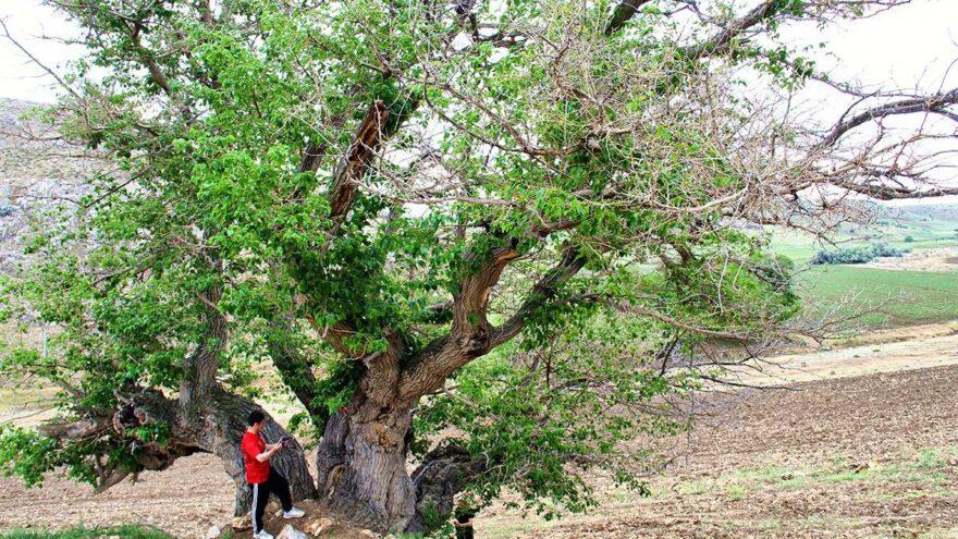 750 yıllık dut ağacı yıllara meydan okuyor