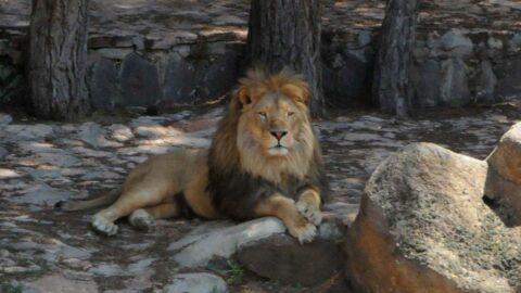 Kafesinden kaçan aslan ve saldırdığı bakıcısının durumu açıklandı