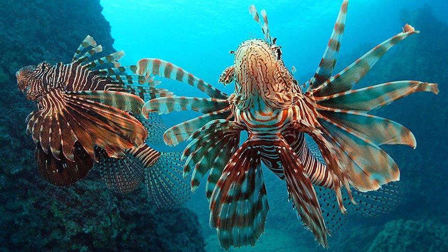 Kızıldeniz'den Akdeniz'e göç eden balık türü sayısı 65'e yükseldi