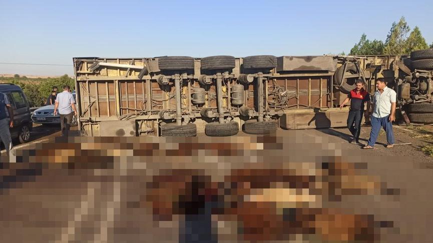 TIR devrildi, sürücü yaralandı, 42 küçükbaş hayvan öldü