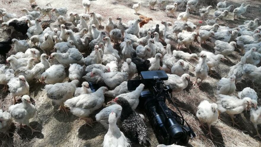 Adana'da 300 civciv ölüme terk edildi
